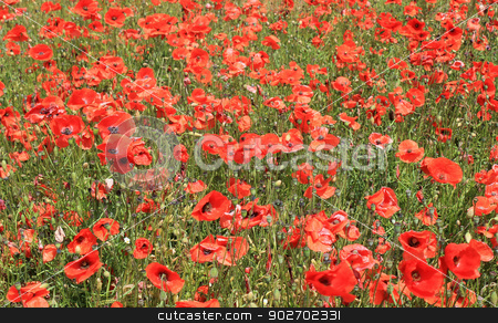 Field of red poppy flowers stock photo, Field of red poppy flowers, summer scene. by Martin Crowdy