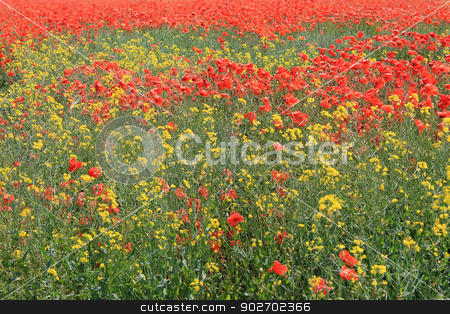 Red and yellow poppy flowers stock photo, Background of red and yellow poppy flowers in bloom. by Martin Crowdy