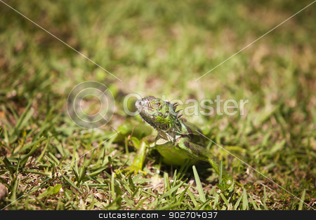 Iguana Looking Around stock photo, Green carribean Iguana walking through the grass by Scott Griessel
