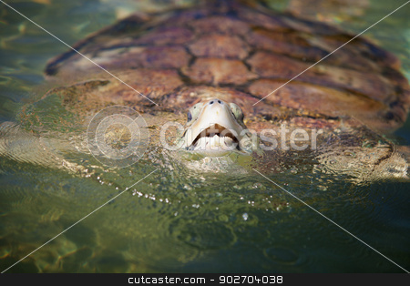 Carribean Sea Turtle stock photo, Large Carribean Sea Turtle at the surface of the ocean by Scott Griessel