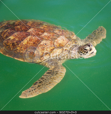 Sea Turtle in the Caribbean stock photo, Large Carribean Sea Turtle at the surface of the ocean by Scott Griessel