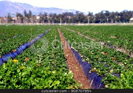 Strawberry Fields stock photo, View of the rows at a strawberry field. by Henrik Lehnerer