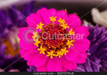 Pink Zinnia Astereaceae Blooming Black Background stock photo, Pink Zinnia Astereaceae Petals Blooming by William Perry