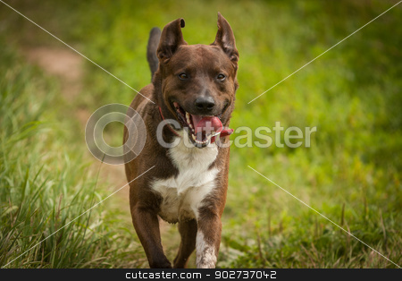 dog running stock photo, brown and white dog running through grass by Adam Filipowicz