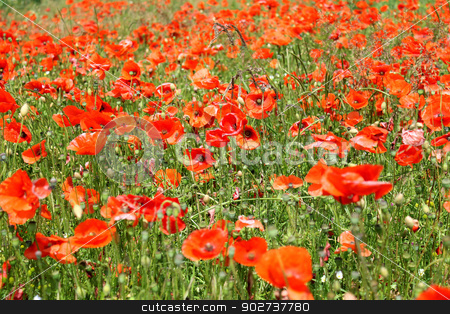 Red poppy flowers in bloom stock photo, Field of red poppy flowers in bloom; summer scene. by Martin Crowdy