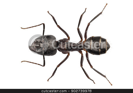 Carpenter Ant species camponotus vagus stock photo, Carpenter Ant species camponotus vagus in high definition with extreme focus and DOF (depth of field) isolated on white background with clipping path by paulrommer