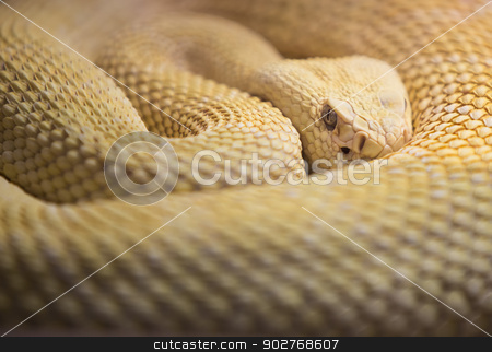 Albino Western Diamond Back Rattlesnake stock photo, Watchhful Albino Western Diaomnd Back Rattlesnake by Scott Griessel