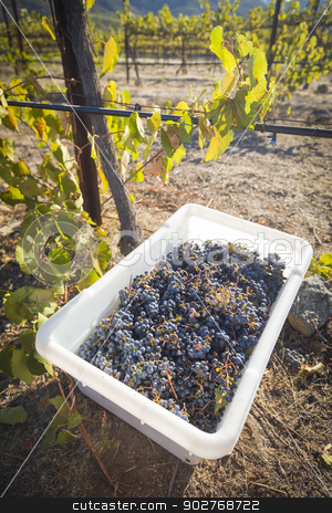 Wine Grapes In Harvest Bins One Fall Morning stock photo, Ripe Red Wine Grapes In Harvest Bins One Fall Morning. by Andy Dean