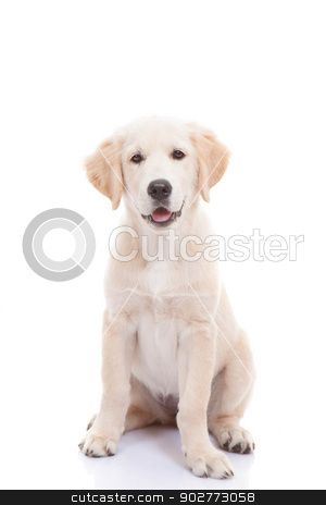Golden labrador retriever puppy stock photo, Golden labrador retriever puppy by mandygodbehear