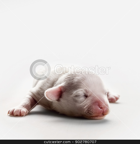 Sleepy miracle. Chinese Crested 1 week puppy dog stock photo, Sleepy miracle. Chinese Crested 1 week puppy dog by tolokonov