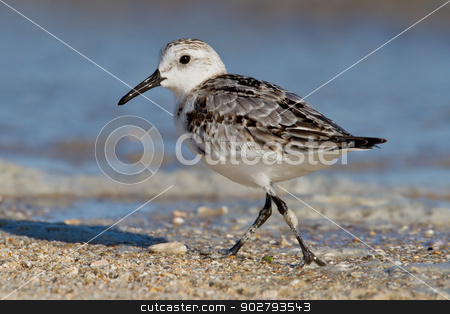 Sanderling (Erolia alba) stock photo, Lone Sanderling foraging on beach. by Glenn Price