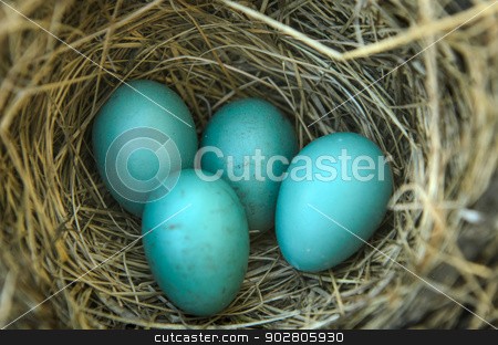 Robins Bird Nest stock photo, Close-up of a robins nest with 4 eggs in it. by Richard Nelson