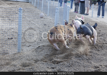 A Day at the Little Pig Races stock photo, A Fun Day at the Little Pig Races – Cute Pigs Running Around a Track.  by Andy Dean