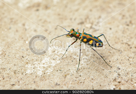 Tiger beetle - Cosmodela aurulenta stock photo, Tiger beetle - Cosmodela aurulenta close up by Alexey Romanov