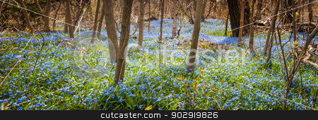 Carpet of blue flowers in spring forest stock photo, Panorama of early spring blue flowers glory-of-the-snow blooming in abundance on forest floor. Ontario, Canada. by Elena Elisseeva