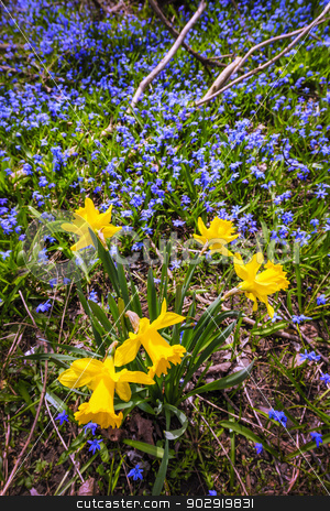 Spring wildflowers stock photo, Yellow spring daffodils and blue flowers glory-of-the-snow blooming in abundance on forest floor. Ontario, Canada. by Elena Elisseeva