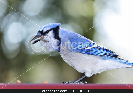 Blue jay bird stock photo, Closeup of blue jay bird eating peanuts by Elena Elisseeva
