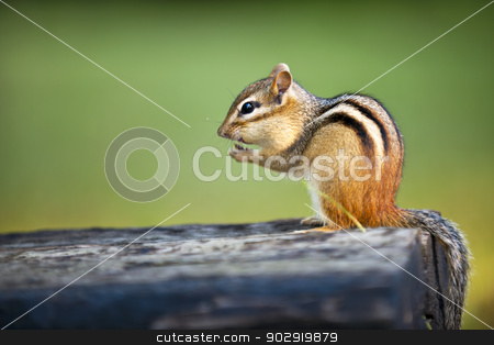 Wild chipmunk eating nut stock photo, Wild chipmunk sitting on log eating peanut by Elena Elisseeva