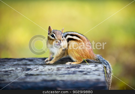 Chipmunk with stuffed cheek on log stock photo, Cute wild chipmunk with one stuffed cheek standing on wooden log by Elena Elisseeva