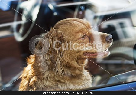 Dog locked in car stock photo, Portrait of australian shepherd dog locked in car by Elena Elisseeva