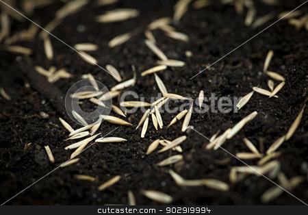 Grass seeds in soil stock photo, Closeup of grass seeds on fertile soil by Elena Elisseeva