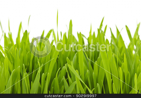 Green grass blades border stock photo, Closeup of green tall grass blades on white background by Elena Elisseeva