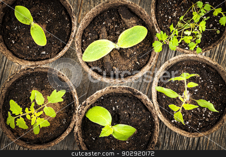 Seedlings growing in peat moss pots stock photo, Potted seedlings growing in biodegradable peat moss pots from above by Elena Elisseeva