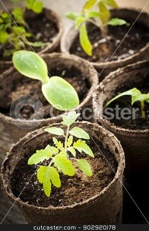 Seedlings growing in peat moss pots stock photo, Potted seedlings growing in biodegradable peat moss pots close up by Elena Elisseeva