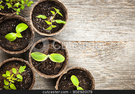 Seedlings growing in peat moss pots stock photo, Potted seedlings growing in biodegradable peat moss pots on wooden background with copy space by Elena Elisseeva