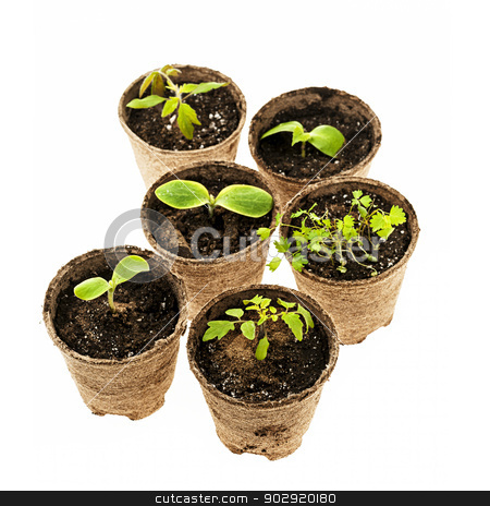 Seedlings growing in peat moss pots stock photo, Several potted seedlings growing in biodegradable peat moss pots isolated on white background by Elena Elisseeva