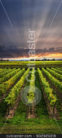 Vineyard at sunset stock photo, Vertical panorama of vineyard at sunset in Niagara peninsula, Ontario, Canada. by Elena Elisseeva