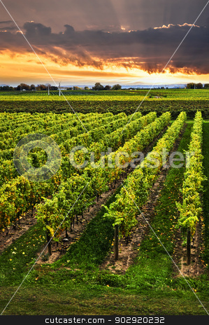 Vineyard at sunset stock photo, Vineyard at sunset in Niagara peninsula, Ontario, Canada. by Elena Elisseeva