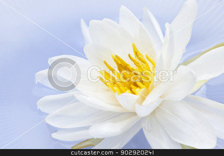 Lotus flower stock photo, White lotus flower or water lily floating by Elena Elisseeva