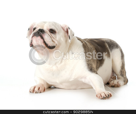 english bulldog portrait stock photo, english bulldog female portrait - 4 year old male by John McAllister