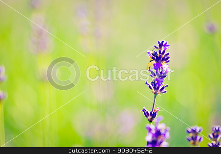 Lavender background stock photo, Green copy-space background with a single lavender flower. Soft focus by Natalia Macheda