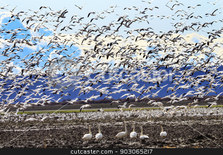 Lift Off Hunderds of Snow Geese Taking Off Flying Trumpet Swans  stock photo, Hundreds of Snow Geese Taking Off Flying In Response to Threat Trumpeter Swans Cygnus buccinator Watching by William Perry