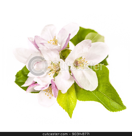 Apple blossom isolated stock photo, Pink apple blossom isolated on white background by Elena Elisseeva