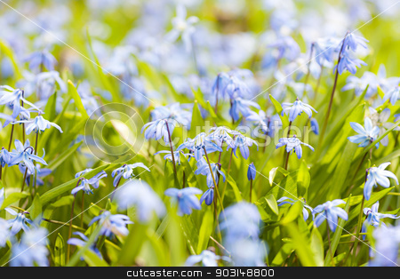 Spring blue flowers glory-of-the-snow stock photo, Closeup of early spring blue flowers glory-of-the-snow blooming in sunny springtime meadow by Elena Elisseeva