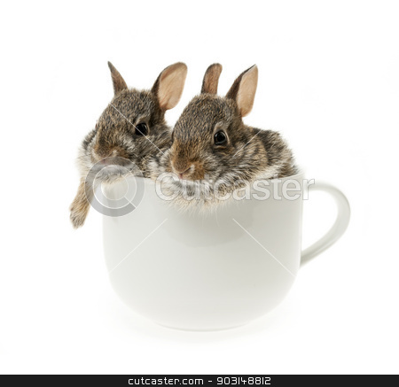 Two baby cottontail bunny rabbits in cup stock photo, Two baby wild cottontail rabbits in coffee mug isolated on white background by Elena Elisseeva