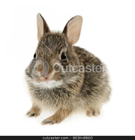 Baby cottontail bunny rabbit stock photo, Portrait of baby cottontail bunny rabbit isolated on white background by Elena Elisseeva