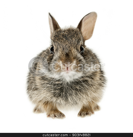 Baby cottontail bunny rabbit stock photo, Portrait of baby cottontail bunny rabbit isolated on white background by Elena Elisseeva