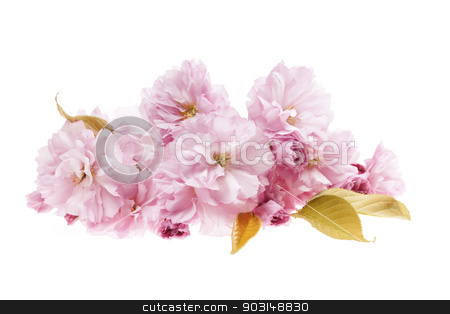 Cherry blossoms isolated stock photo, Pink cherry blossom flower arrangement isolated on white background by Elena Elisseeva