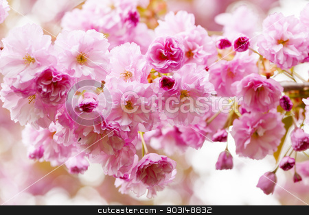 Cherry blossoms on spring cherry tree stock photo, Pink cherry blossom flowers on flowering tree branch blooming in spring by Elena Elisseeva