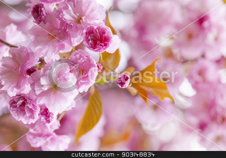 Pink cherry blossoms in spring orchard stock photo, Pink cherry blossom flowers on flowering tree branch blooming in spring orchard with copy space by Elena Elisseeva