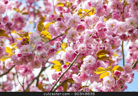 Cherry blossoms on spring cherry tree branches stock photo, Pink cherry blossom flowers on flowering tree branches blooming in spring orchard by Elena Elisseeva