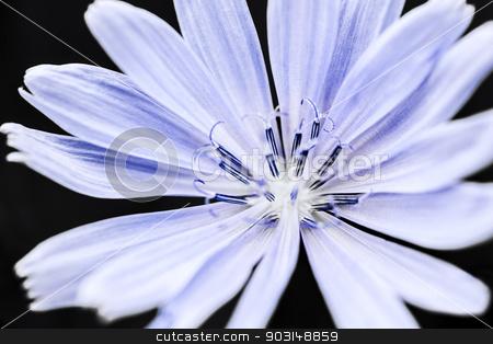 Chicory flower macro stock photo, Macro closeup on blue chicory flower with black background by Elena Elisseeva
