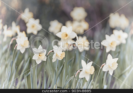 Daffodils stock photo, Field of blooming white daffodil flowers in spring by Elena Elisseeva