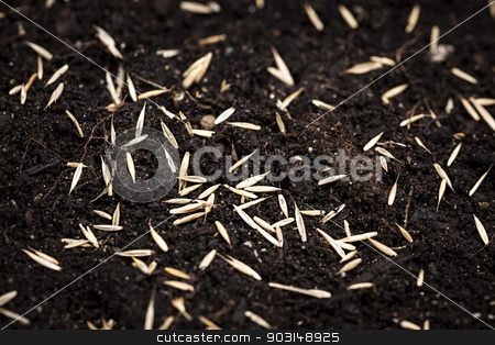 Grass seeds in soil stock photo, Closeup of grass seeds on fertile soil by Elena Elisseeva