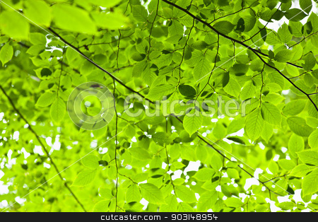 Green spring leaves stock photo, Green spring tree leaves in sunshine, natural background. by Elena Elisseeva