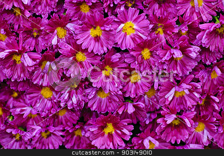 Pink mums background stock photo, Background of pink mum flowers with raindrops by Elena Elisseeva